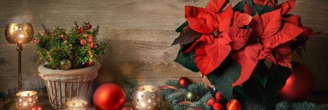 Comment faire durer votre étoile de Noël, le poinsettia