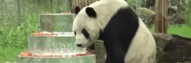 L'héritage d'un panda incroyablement doué pour le sexe