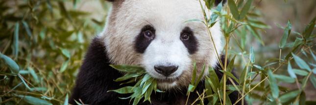 L'étonnant recyclage des crottes de panda en Chine
