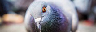Près de 10.000 pigeons euthanasiés à Orchies