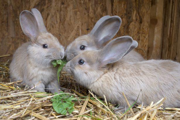 lapins élevage