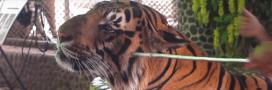 Tigre maltraité en Thaïlande: la vérité cruelle derrière les selfies animaliers