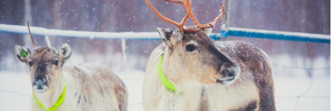 Finlande: des rennes équipés d'un GPS pour garantir leur sécurité