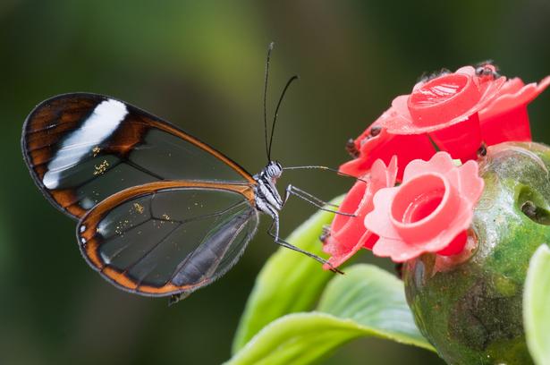Greta Oto papillon translucide
