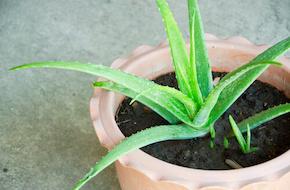 Plante-intérieur-aloe-vera