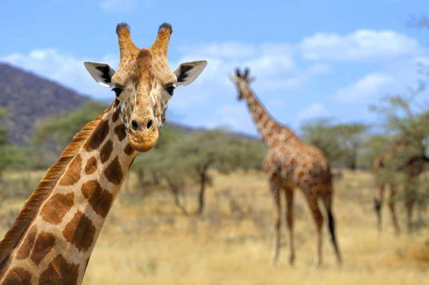animaux d'Afrique, guerre