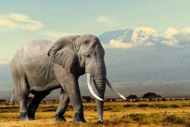 animaux d'Afrique, guerres