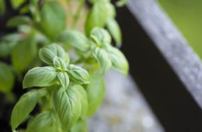 Plante-intérieur-basilic