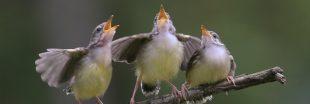 La pollution sonore empêche les oiseaux de chanter