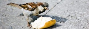 Donner du pain aux oiseaux sauvages, une pratique dangereuse pour leur santé