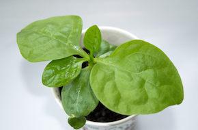 Plante-intérieur-épinards