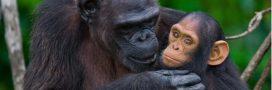 Une proposition inédite pour protéger les grands singes