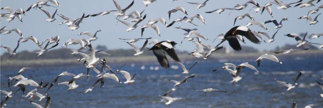 Les oiseaux aquatiques eux-aussi, préfèrent les pays bien gouvernés
