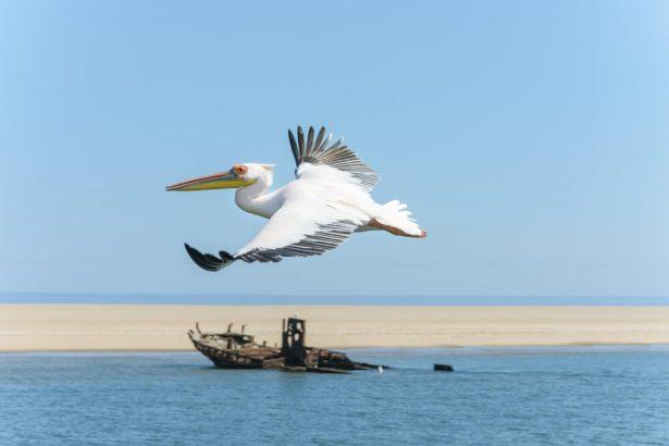 oiseaux aquatiques, pélican