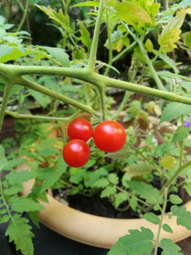 pousser en intérieur, plantes, tomates