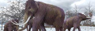 Pleistocene Park : des mammouths contre le réchauffement climatique ?