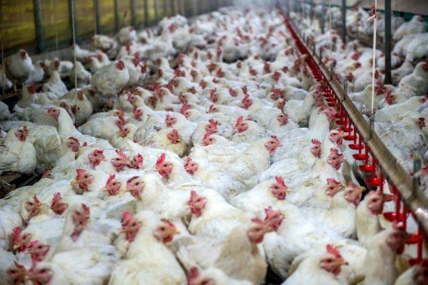poulets contaminés, Royaume-Unis