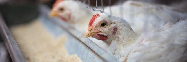 Vers un nouveau scandale de poulets contaminés au Royaume-Uni?