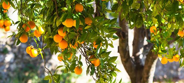pansement arbre tronc d'arbre fruitier