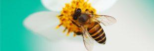 Abeilles domestiques et abeilles sauvages : la compétition des ressources
