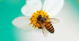 Abeilles domestiques et abeilles sauvages: la compétition des ressources