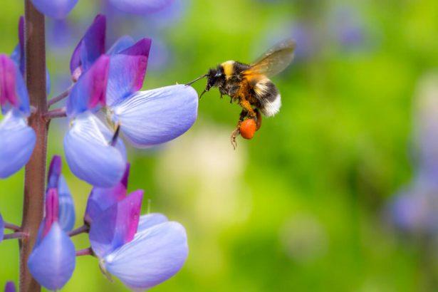 abeilles domestiques, pollinisateurs sauvages