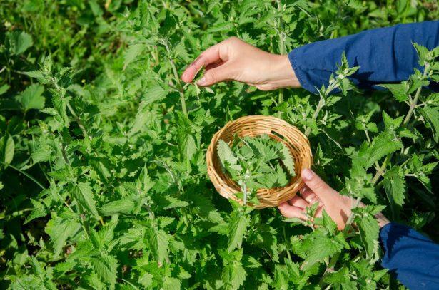 herboriste, plantes médicinales
