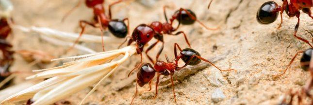 Etonnant: chez les fourmis aussi, il y a des infirmières