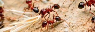 Etonnant : chez les fourmis aussi, il y a des infirmières