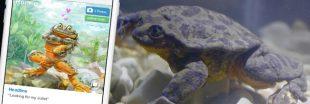 Roméo, dernière grenouille de son espèce, cherche sa Juliette