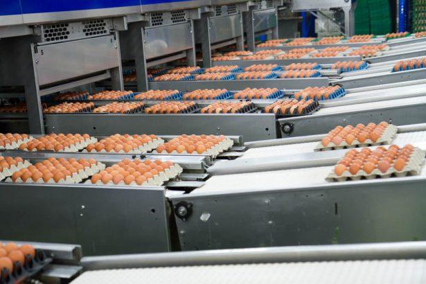 En 2022, tous les œufs devront être issus d'élevage de plein air