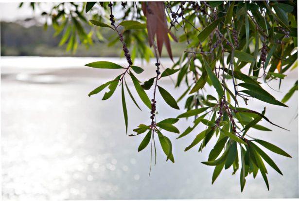 feuilles de niaouli