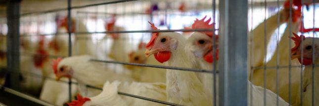 Dès 2022, les oeufs de poules élevées en cage ne pourront plus être vendus