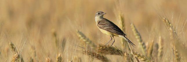 Les oiseaux sauvages contaminés par les néonicotinoïdes