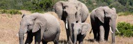 Donnez vos objets en ivoire pour la protection des éléphants
