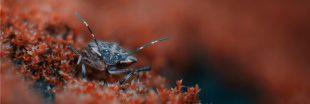 Une invasion d'insecte fait trembler la Nouvelle-Zélande