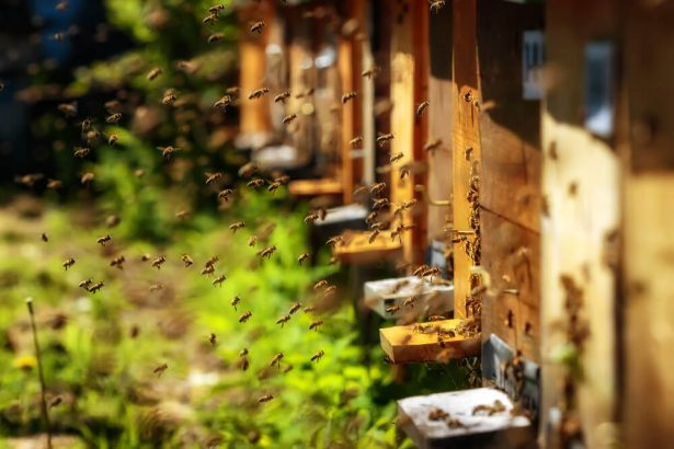 abeilles domestiques