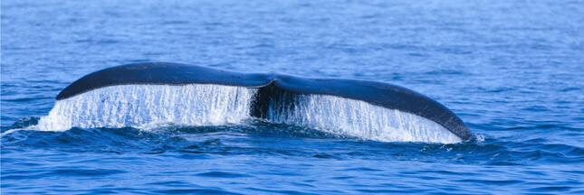 Scénario catastrophe pour la baleine noire de l'Atlantique nord : pas de baleineau cette saison !