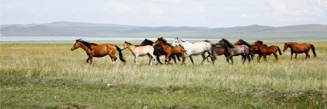 Les chevaux de Przewalski ne sont pas les derniers chevaux sauvages : il n'y en a plus !