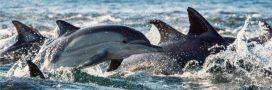 Les dauphins victimes collatérales des filets des pêcheurs français!