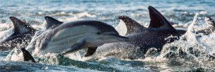 Les dauphins victimes collatérales des filets des pêcheurs français !