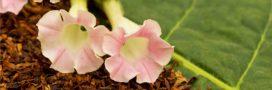 Sélection livre: Cultiver son propre tabac, de la graine à la feuille séchée