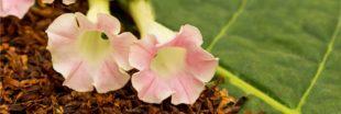 Sélection livre : Cultiver son propre tabac, de la graine à la feuille séchée