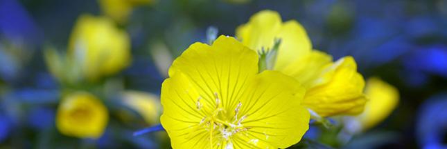 Onagre : la fleur qui prend soin des femmes