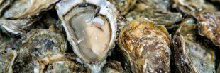 Mieux comprendre les cancers grâce aux huîtres creuses