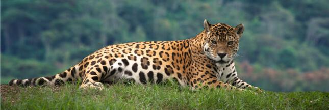 Commerce illégal : les jaguars, victimes de la 'médecine traditionnelle' chinoise !