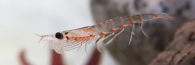 Greenpeace: la pêche intensive du krill en Antarctique, un danger pour l'écosystème marin