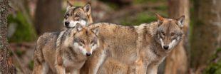 Le loup en France : pour une gestion soutenable de sa présence