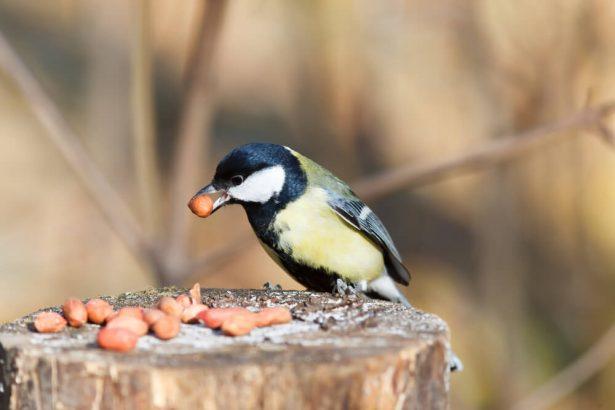 mangeaoire oiseaux