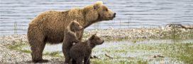 Les ours bruns s'adaptent pour échapper aux chasseurs